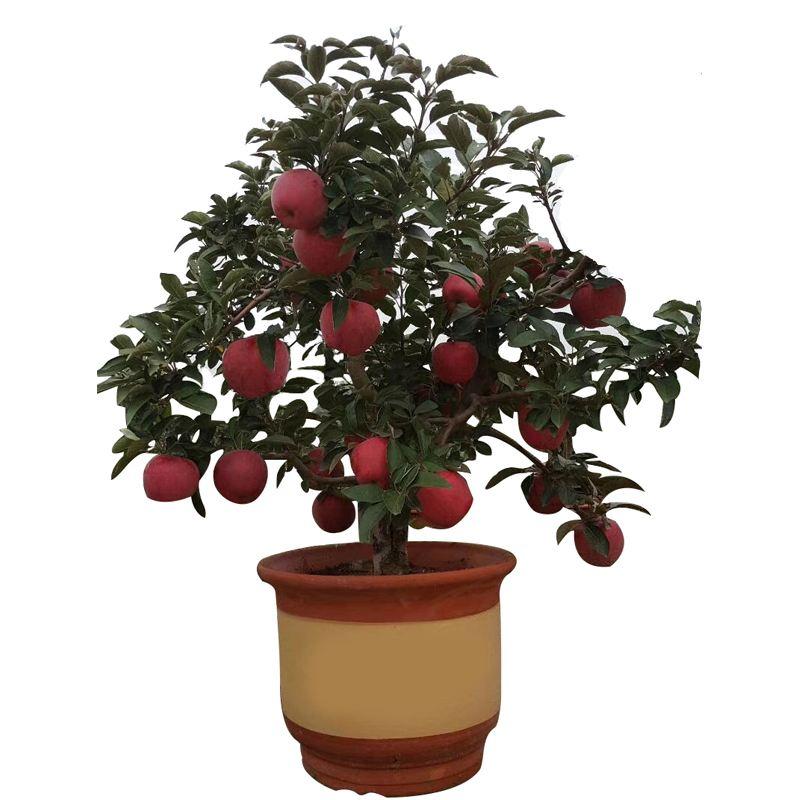 盆栽苹果的种植方法 七步骤在家就能种出好苹果