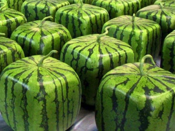 水果奇妙物语 解读方形西瓜