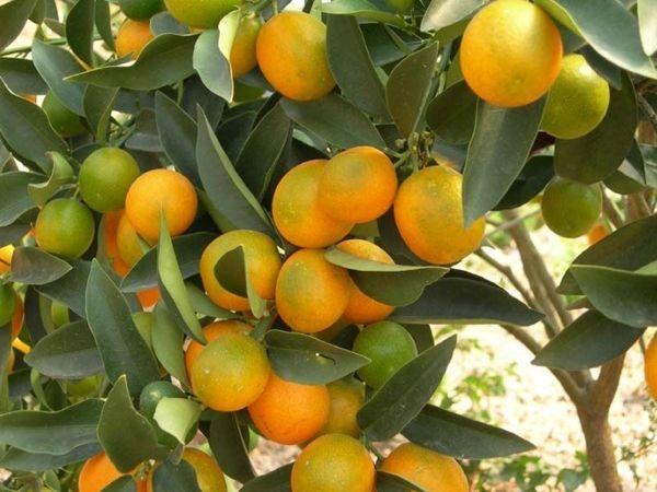 柑子和橘子的区别 剥皮就能判断