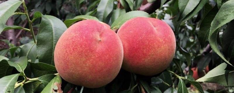 吃桃子要注意些什么  最好不要立即喝水